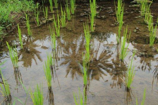 padi field 1