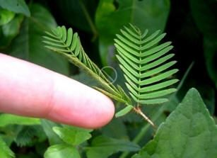 mimosa-pudica-sensitive-plant