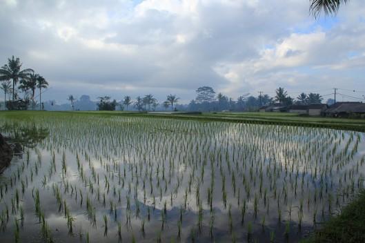 padi field 2